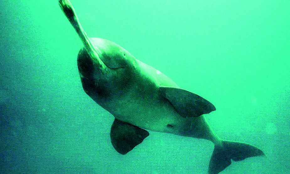 Gangetic Dolphin edges closer to a tricolour send-off ...